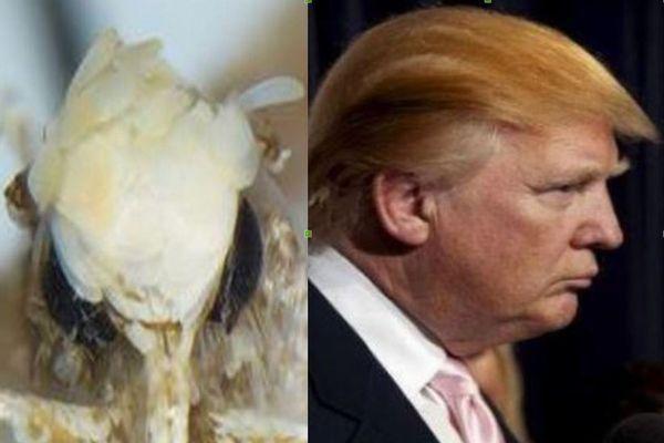 新大統領にちなんで命名された新種の蛾、その名も「ドナルドトランピ」!