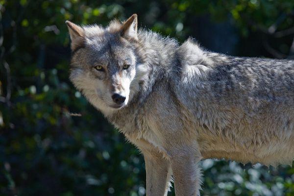 パリの郊外にオオカミが住みついている?調査グループが多くの証拠をつかむ
