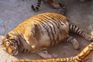 アトラクションで過剰に食べ物を与えられたトラ、中国の動物園に非難の声