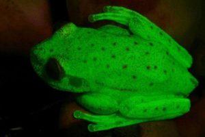 世界で初めて蛍光を放つカエルを確認、暗闇に浮かび上がる緑色の光が美しい