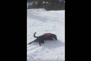 救助犬のつかの間の休息…雪山を体で滑っていく姿に思わずなごむ