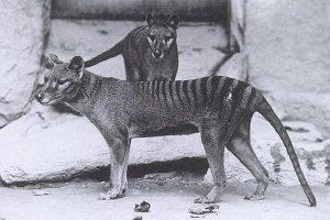 幻の動物「タスマニア・タイガー」を発見するための調査が、来月にも行われる