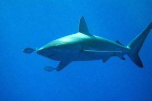 妻を襲った獰猛なサメを夫が殴りつけて撃退、無事に救い出す