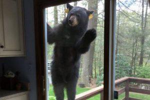 焼き菓子の甘い匂いに誘われて…野生のクマが民家の外に出現
