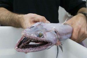 顔はトカゲで体はウナギ、しかも雌雄同体!豪の海で不気味な深海魚を捕獲