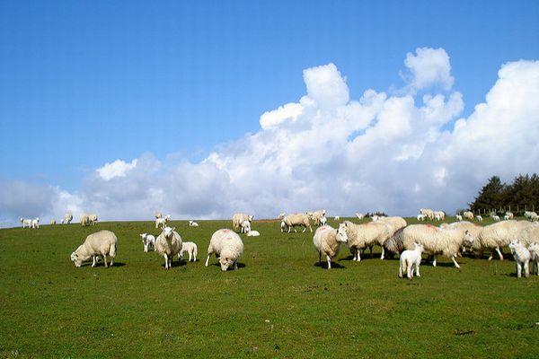 仏の国境付近で崖下に209頭の羊が死んでいるのを発見、残りの群れも行方不明