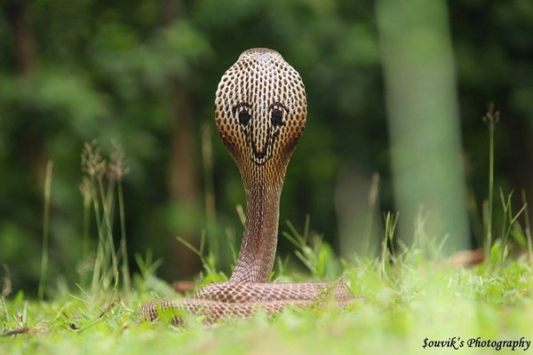 まるで笑顔を浮かべているみたい、ユニークな模様をした猛毒のインド・コブラを目撃