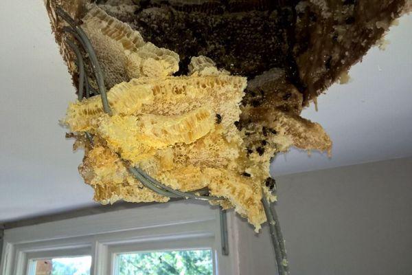 天井からハチミツがとろ~り、英で屋根裏から巨大なミツバチの巣が発見される