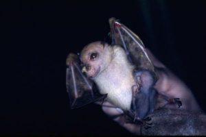 常に笑顔を浮かべ「ヨーダ」と呼ばれてきたコウモリ、新種だと判明し新たな名前に