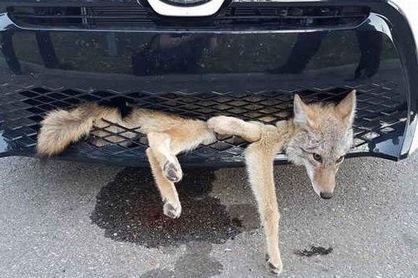 ひかれたと思われたコヨーテ、車の前部にハマったまま35キロを移動し救助される