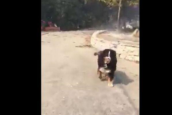 カリフォルニアの山火事で死んだと思われた愛犬が焼け跡で生存、再会する場面が感動的