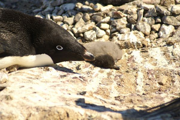 南極のアデリーペンギンの繁殖が壊滅的、数千羽のヒナが餓死、生き伸びたのは2羽のみ