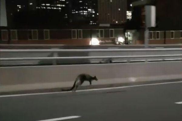 豪のフリーウェイにワラビーが出現、ぴょんぴょん跳ねながら逃げていく