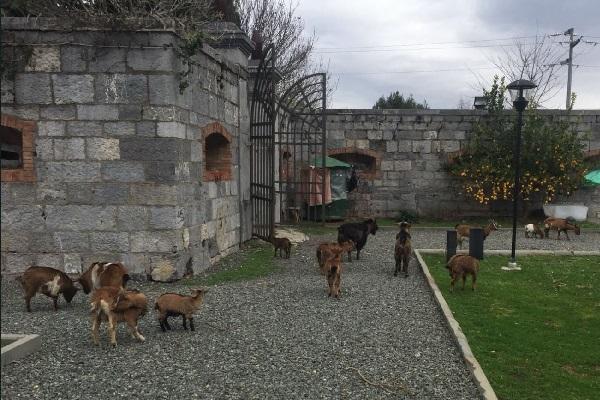 """イタリアの島で害獣の""""野良ヤギ""""を移動させる作戦が開始され、注目を集める"""