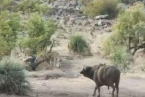 子象が襲われピンチ!バッファローの群れが突進し、ライオンを追い払う