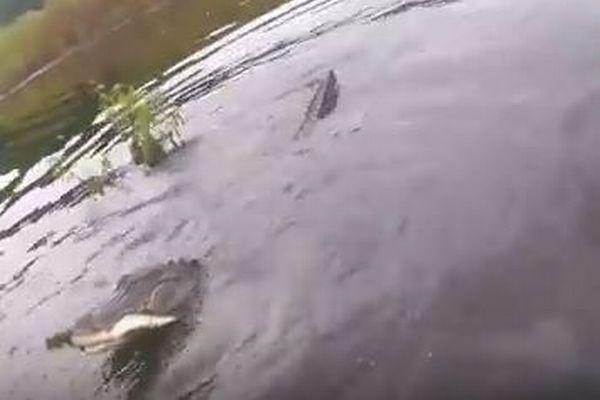 魚を釣り上げた瞬間、ワニが浮上し急接近、獲物をめぐって綱引き状態に