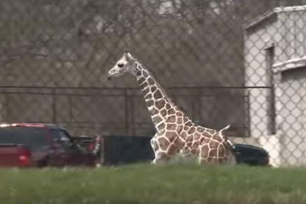 キリンの赤ちゃんが飼育施設から脱走、動物園内でスタッフと追いかけっこ