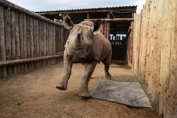 中央アフリカの国から姿を消したクロサイ、50年ぶりに自然へ解き放たれる