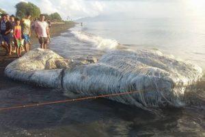 フィリピンの海岸に再び、クジラと思われる白い巨大生物の死骸が打ち上がる