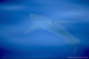 40年以上も姿を消していたホオジロザメ、スペインで泳ぐ姿が確認される