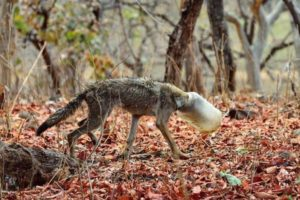 インドでプラスチック容器が頭にはまったオオカミを発見、無事救助に成功