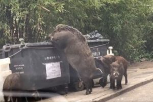 まるで「乙事主」のよう!香港で撮影された野生のイノシシが巨大すぎる