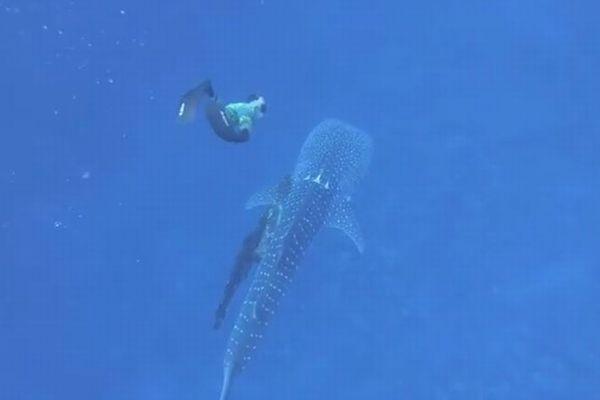 漁具やロープが絡まったジンベイザメ、偶然潜っていたダイバーの家族が救出