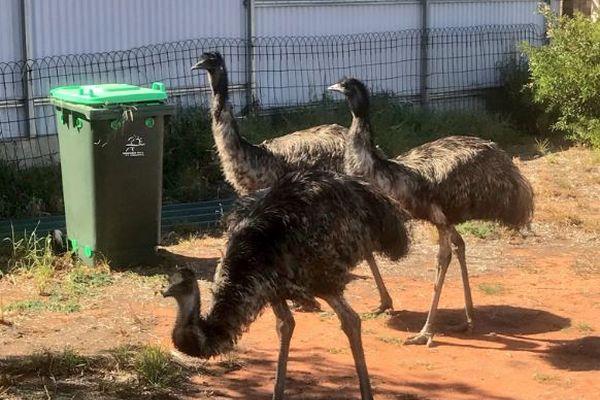 記録的な干ばつで水やエサを求め、オーストラリアの街にエミュの群れが出没