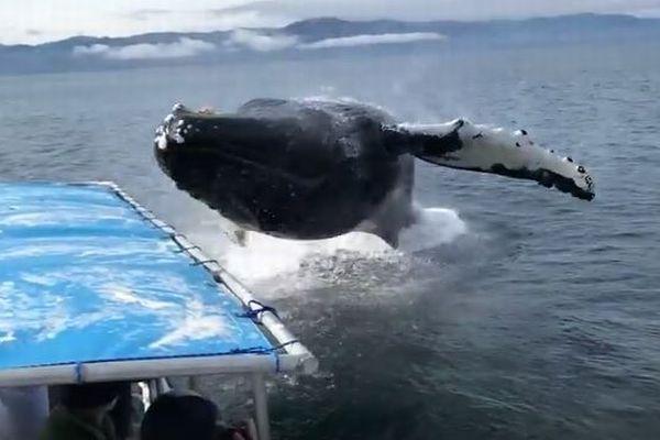 アラスカ沖で突如クジラが浮上、船の近くで巨体のジャンプする姿がダイナミック