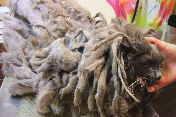 飼い主のネグレクトにより大量の毛に覆われたネコ、救助され見違える姿に変身