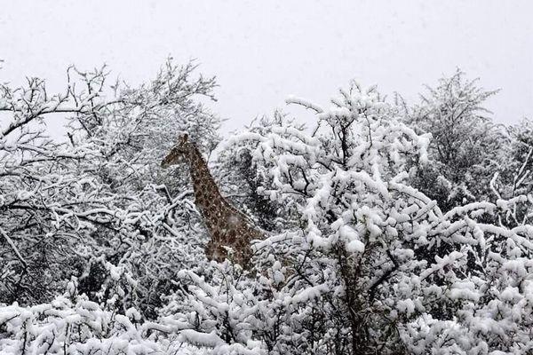 南アフリカで雪と一緒に映った、ゾウやキリンの珍しい写真が撮影される