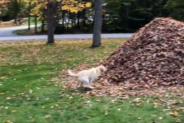 秋が待ちきれない!落ち葉の山へ豪快にダイブするワンコが話題に