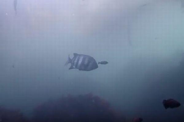 東日本大震災の津波で運ばれた?米西海岸で日本に住む魚が目撃される