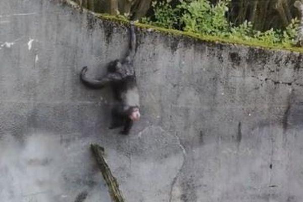 チンパンジーが枝を梯子のように使い囲いから脱走、遭遇した来園者もびっくり