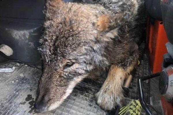 建設作業員が川で凍りついているワンコを救助…と思ったら実はオオカミだった!