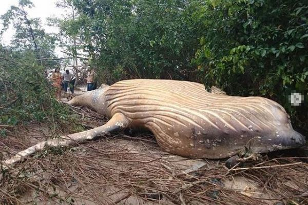 ジャングルのミステリー!ブラジルの森でクジラの死骸が発見される