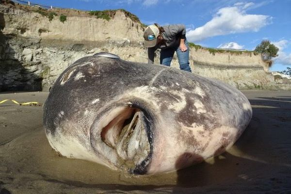体長2m!南半球にいるはずの巨大なマンボウを米西海岸で発見