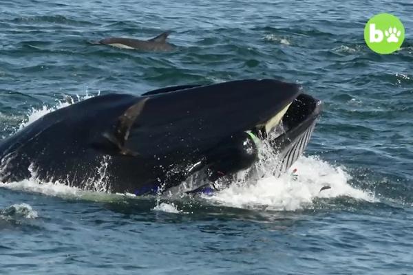 クジラに飲み込まれそうになったダイバー、生還できた理由とは?【動画】