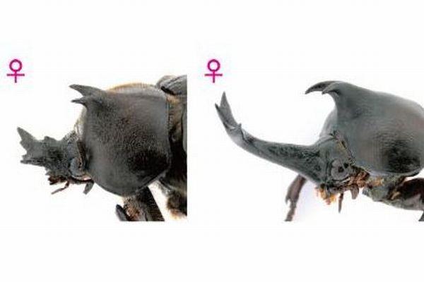 カブトムシのメスに角が生えた!性差が現れる時期を特定:基礎生物学研究所