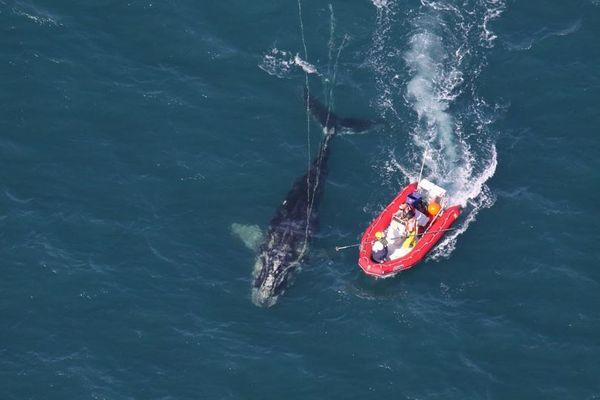 絶滅寸前のクジラにミニ・ベビーブーム到来、米の沖合で複数の母子を確認