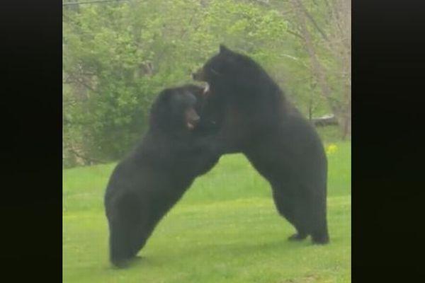 米の庭先で巨大な2頭のクマが格闘を開始、撮影された動画が迫力満点
