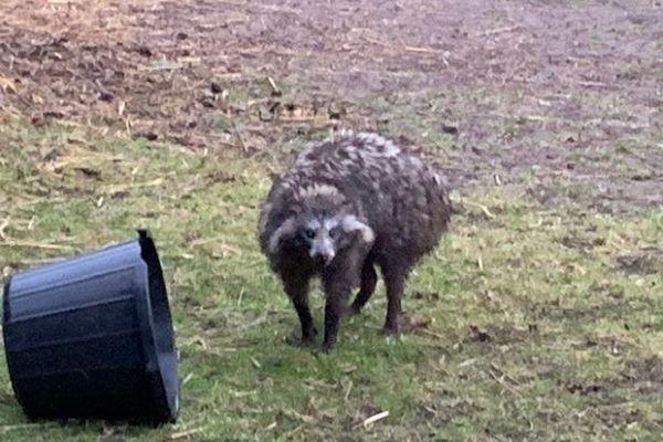 英国で生息していないタヌキが逃走、危険外来種として警戒が呼びかけられる
