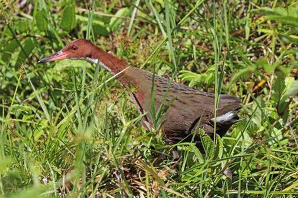 絶滅したと思われていたクイナ科の鳥、反復進化して別の形で生き延びていた:ポーツマス大学他