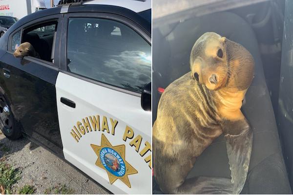 カリフォルニアの高速道路でアシカを発見、自らパトカーに乗り救助される