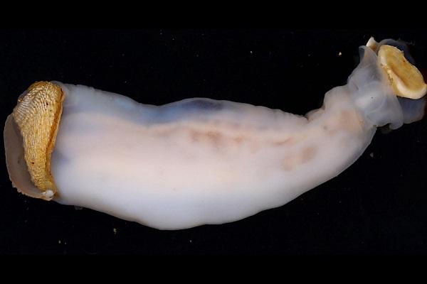 """エサは岩!フィリピンで奇妙な新種の""""貝""""が発見される"""
