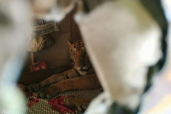 インドで洪水が発生、住人が自宅に戻ってみると、ガレージに野生のトラがいた!