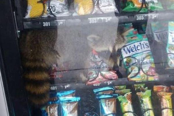 自動販売機の中にアライグマ!スナックに引き寄せられ、閉じ込められてしまう