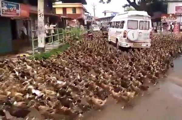 大量のアヒルの群れが道路に出現、車やバイクを囲み、通りを埋め尽くす