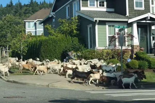 米でヤギが大脱走!100頭以上が次から次へと住宅街になだれ込む【動画】