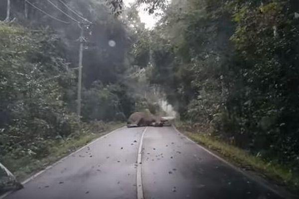 道路の真ん中で巨大なゾウが熟睡、行く手を塞がれドライバーが困ってしまう